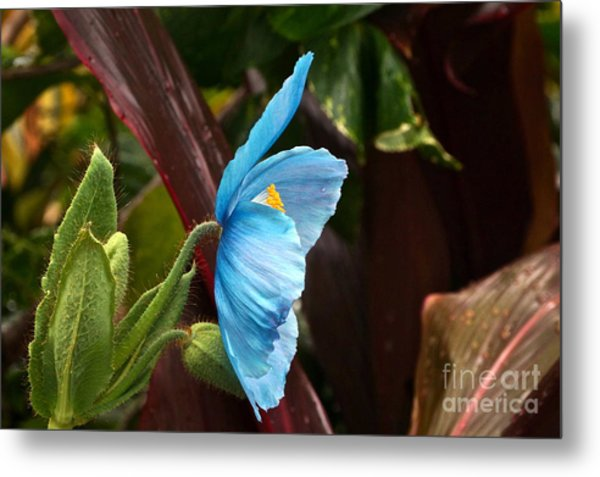 The Colors Of The Himalayan Blue Poppy Metal Print