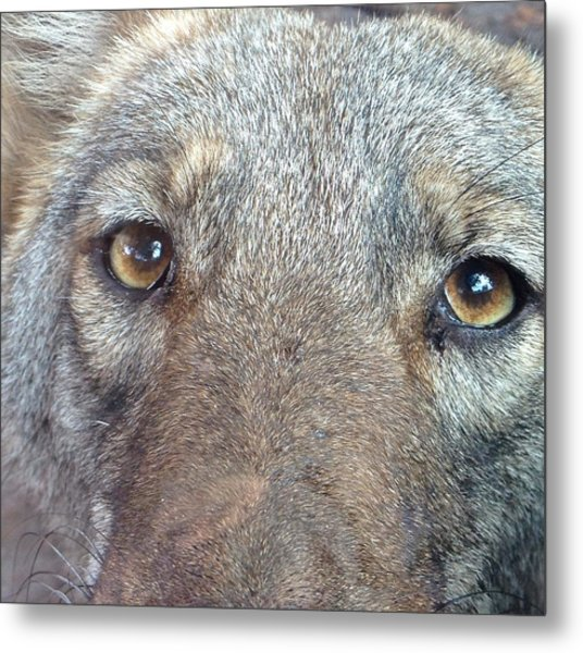 The Coyote Metal Print