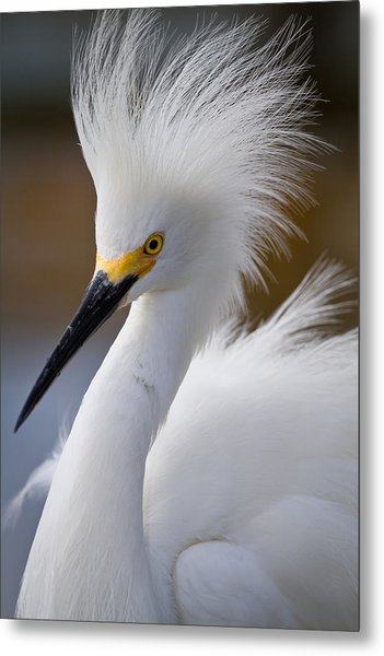 The Crest Of A Snowy Egret Metal Print