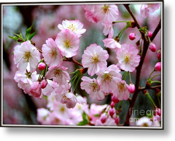 The Delicate Cherry Blossoms Metal Print