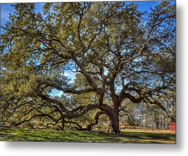 The Emancipation Oak Tree At Hu Metal Print