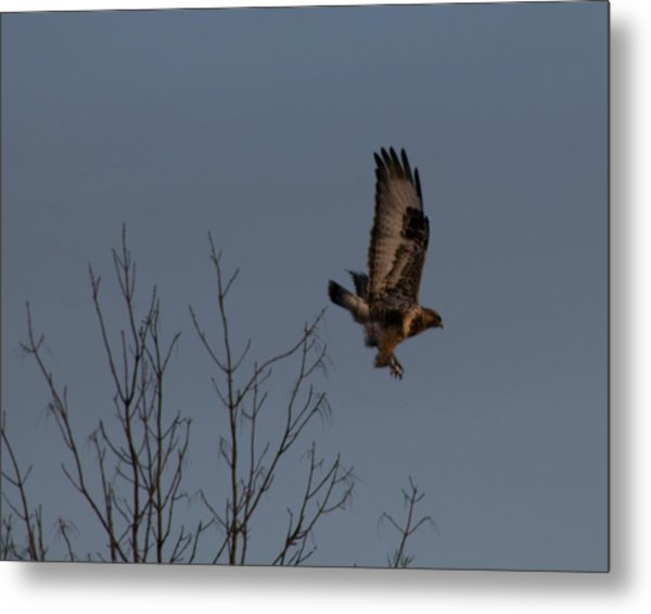 The Flying Hawk Metal Print by Rhonda Humphreys