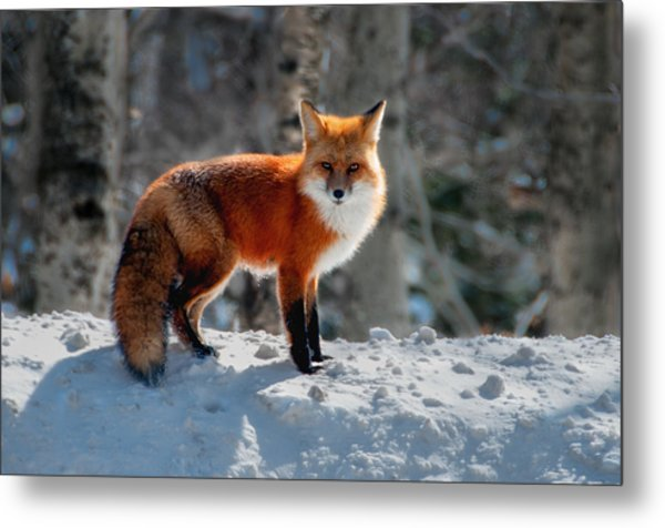 The Fox 3 Metal Print