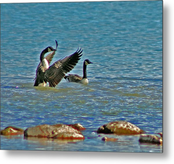 The Friendly Persuasion Metal Print by Rhonda Humphreys