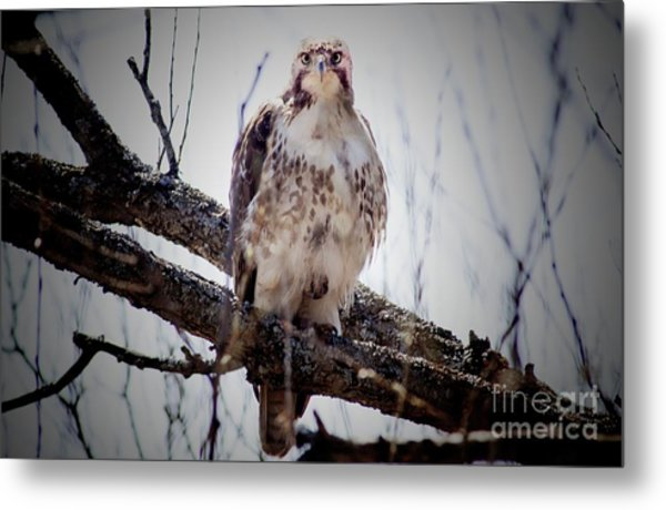 The Hawk Metal Print