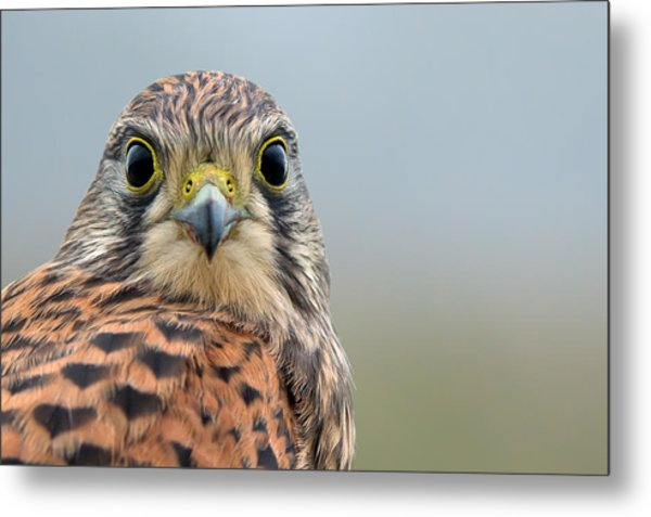 The Kestrel Face To Face Metal Print