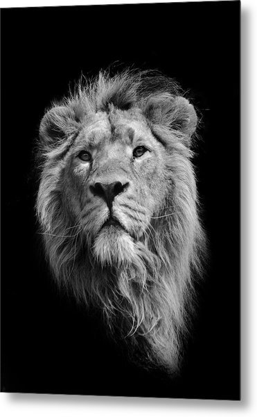 The King Asiatic Lion Metal Print by Stephen Bridson Photography