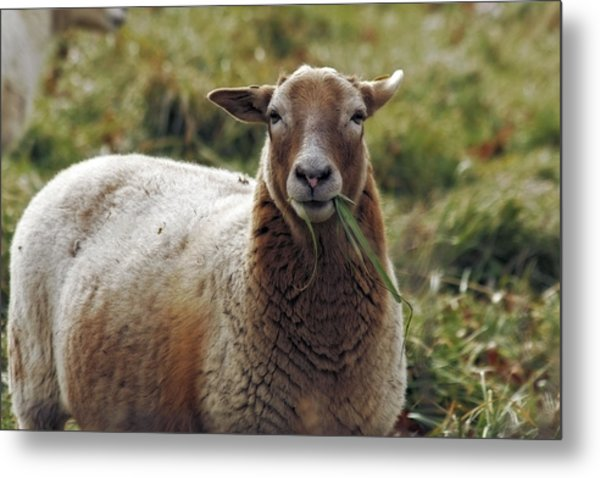 Feed My Sheep Metal Print