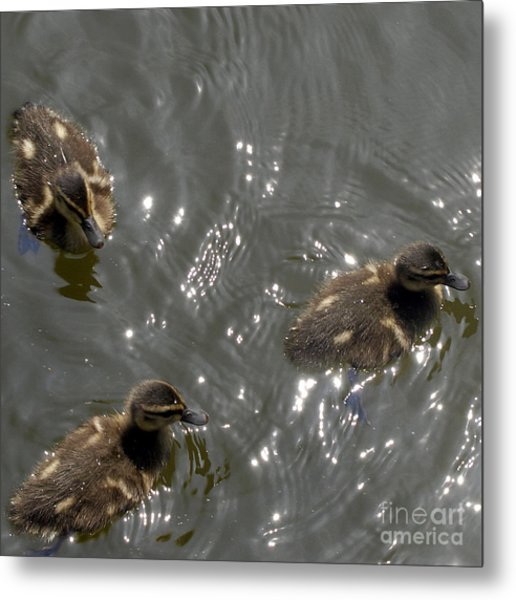 The Little Ducklings Out For A Swim Metal Print