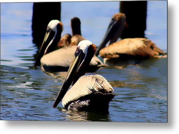 The Lovely Pelican  Metal Print