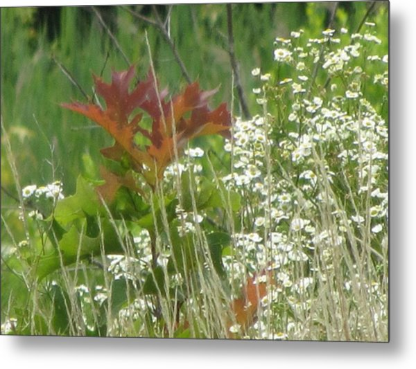 The Mighty Tiny Oak Amidst White Flowers Metal Print by Debbie Nester