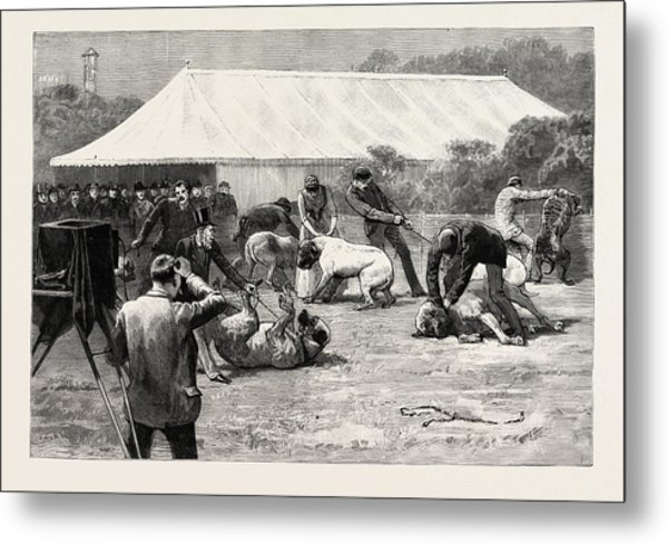 The Old English Mastiff Club Show At The Crystal Palace Metal Print