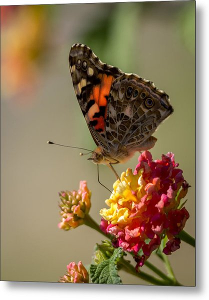 The Painted Lady Metal Print