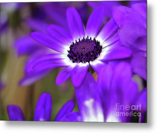 The Purple Daisy Metal Print