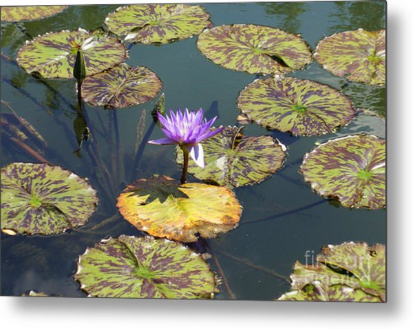 The Purple Water Lily With Lily Pads - Two Metal Print