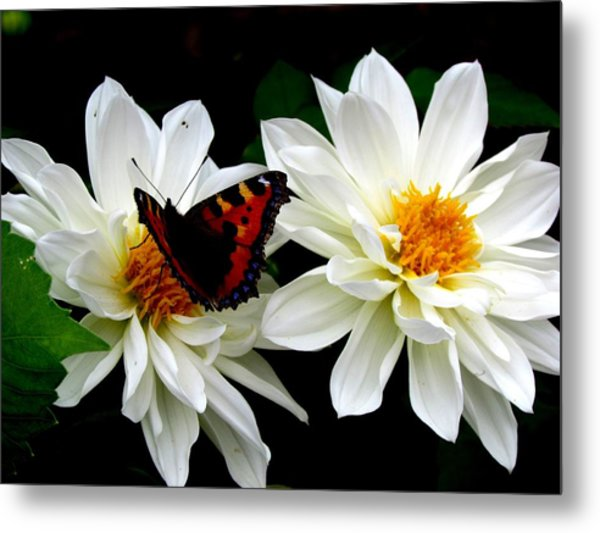 The Red Admiral Metal Print