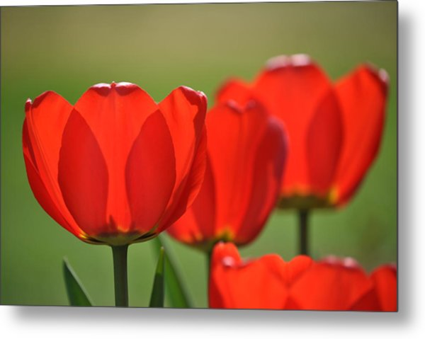 The Red Tulips Metal Print