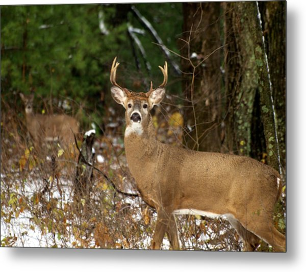 The Rutting Whitetail Buck Metal Print