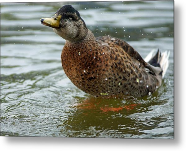 The Shaking Duck Metal Print by Thomas Fouch