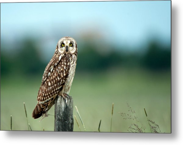 The Short-eared Owl  Metal Print