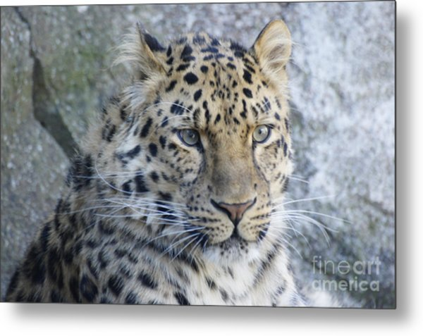 The Stare Of A Leopard Metal Print