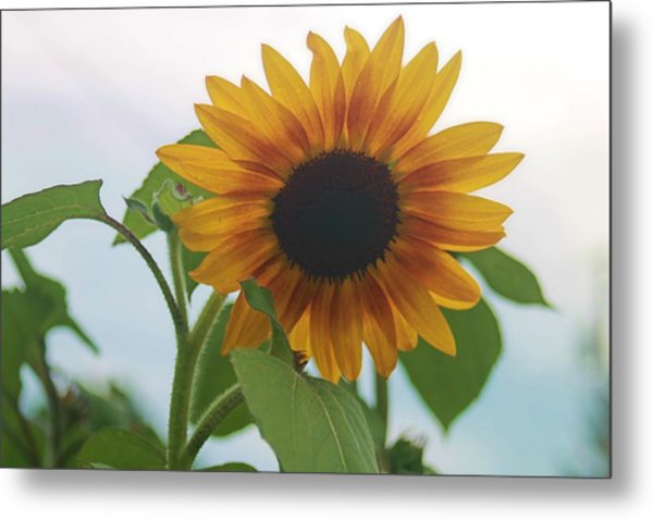 The Sunflower Metal Print by Victoria Sheldon