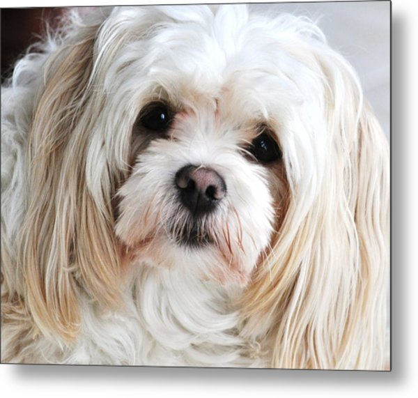 The Sweetest Maltese Metal Print