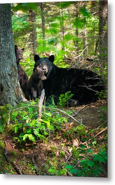 Metal Print featuring the photograph The Ultimate Single Mother Black Bear Sow And Cubs by Jeff Sinon