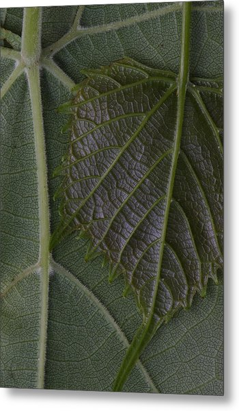 Metal Print featuring the photograph The Underside Of Frost Grape Leaves by Daniel Reed