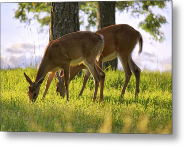 The Whitetail Deer Of Mt. Nebo - Arkansas Metal Print