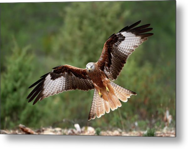The Wings Of The Red Kite Metal Print