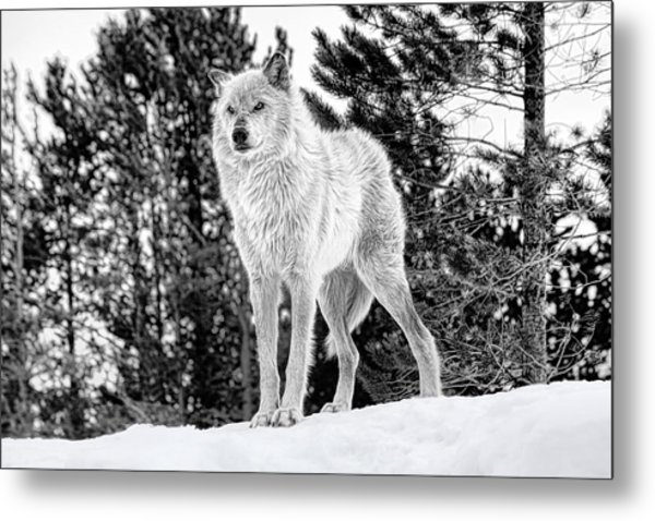 The Wolf  Metal Print
