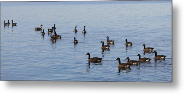 They Are Swimming Metal Print by Carolyn Ricks