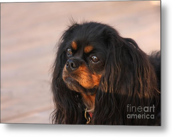 Thoughtful Cavalier Metal Print