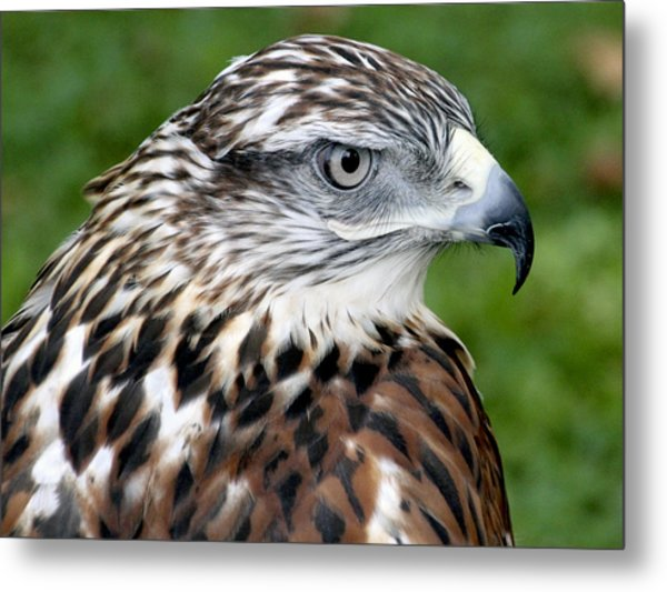 The Threat Of A Predator Hawk Metal Print