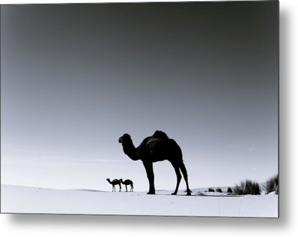 Three Camels In The Sahara Desert Metal Print by Zodebala