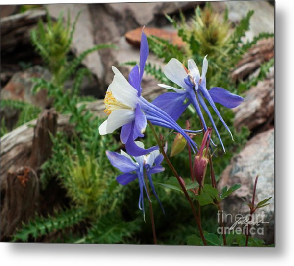 Three Columbine Metal Print