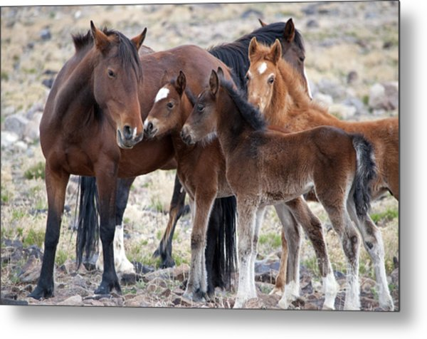 Three Foals Together Metal Print