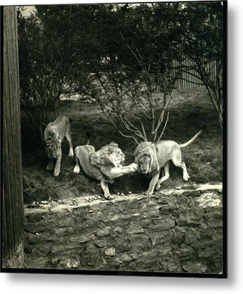 Three Lions At The Bronx Zoo In New York Metal Print by Toni Frissell