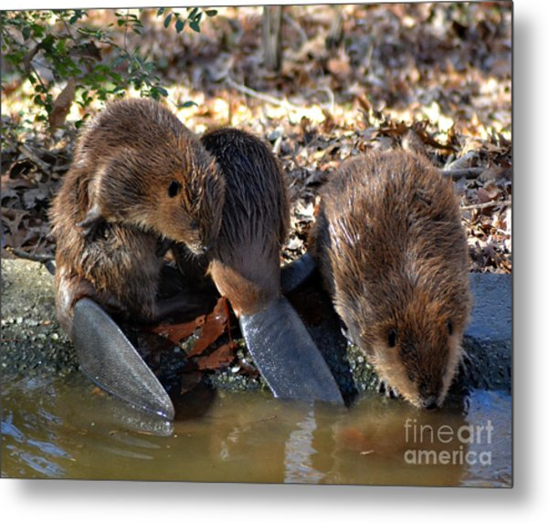 Three Little Beavers Metal Print