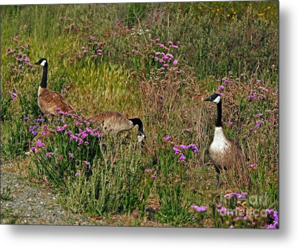 Three Quiet Canada Geese Metal Print