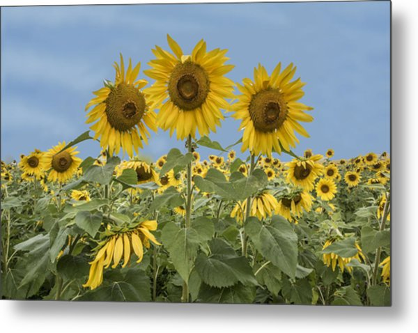 Three Sunflowers At The Front Of A Sunflower Field Metal Print