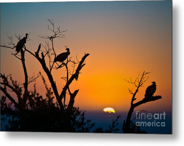 Three Vultures Waiting Metal Print