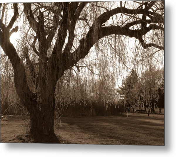 Through The Willow  Metal Print