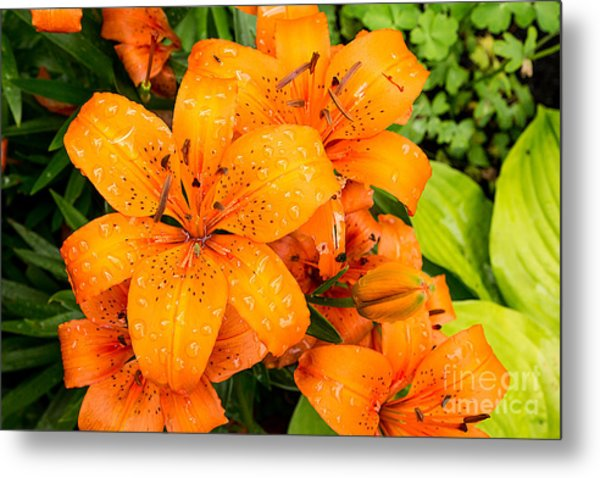 Tiger Lily After Morning Rain Metal Print