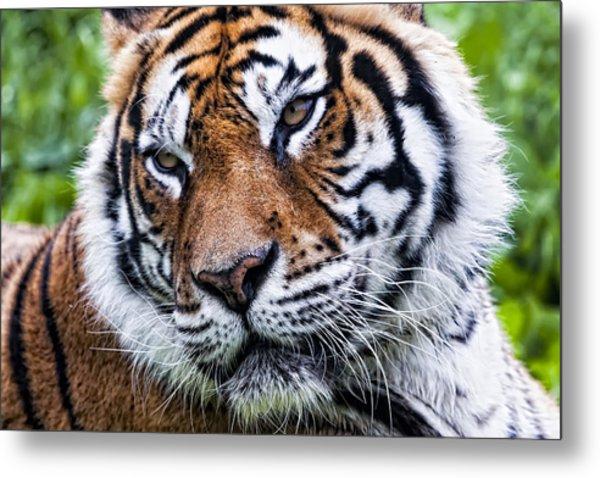 Tiger On Grass Metal Print