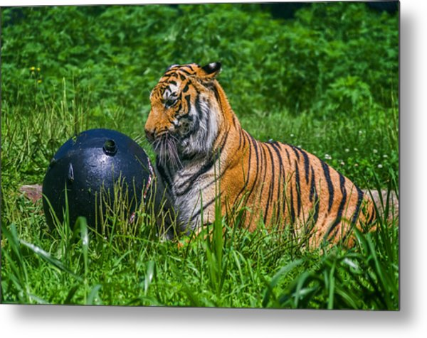 Tiger Playing With Ball Metal Print