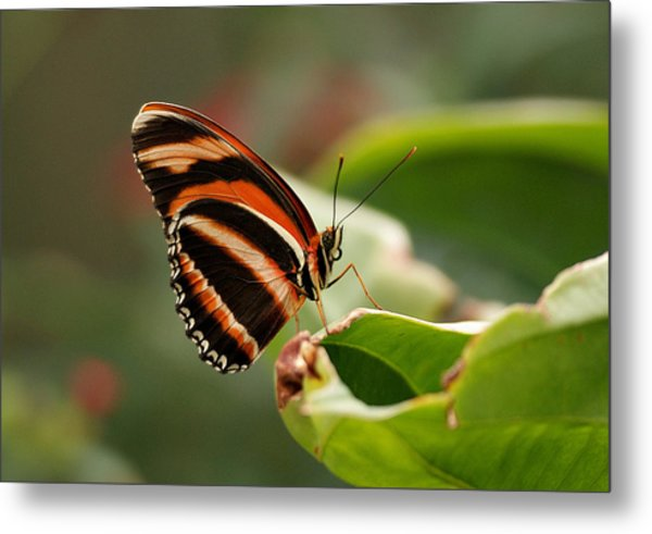 Tiger Striped Butterfly Metal Print
