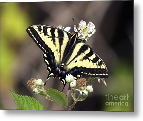 Tiger Swallowtail Butterfly 2a Metal Print by Sharon Talson