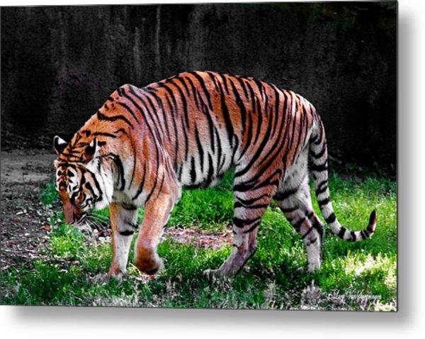 Tiger Tale Metal Print